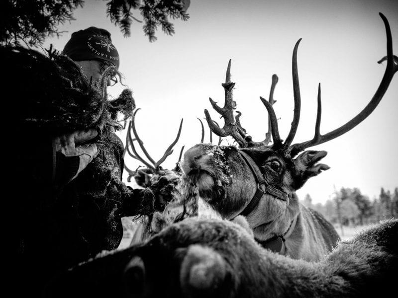 Hakan, ein Sami, füttert seine Rentiere. Weil der erste Schnee im November durch die Klimaerwärmung so feucht vom Himmel fällt, dass er am Boden zu Eis gefriert, verhungern in Lappland mittlerweile jeden Winter Tausende Rentiere. Eigentlich können sie das Futter durch den meterhohen Schnee riechen, doch das Eis verhindert das.